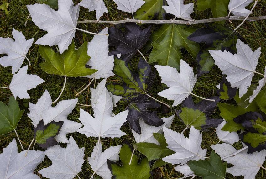 Topola biała Populus alba, czyli drzewo o białej korze i jego wyeksponowane liście oraz jej występowanie i zastosowanie