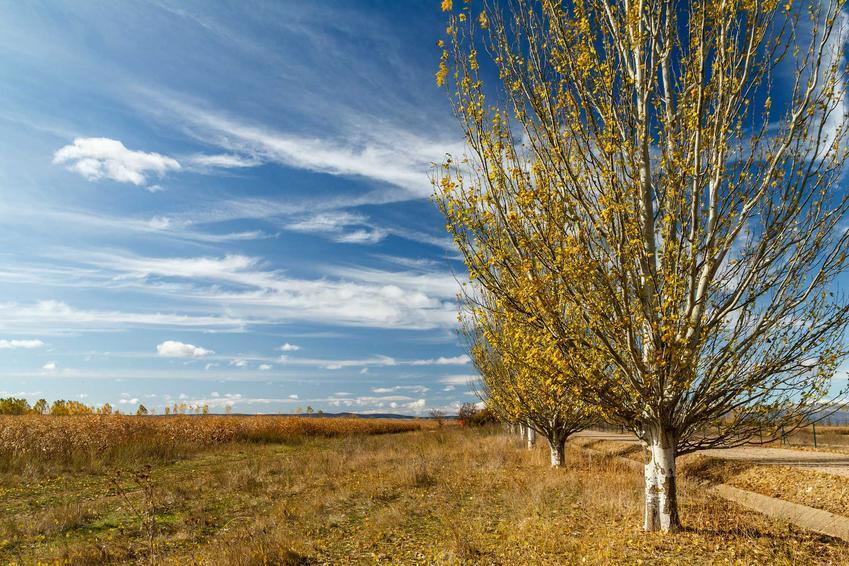 Topola biała, czyli drzewo o białej korze w stanie wolnym oraz jej występowanie i zastosowanie krok po kroku