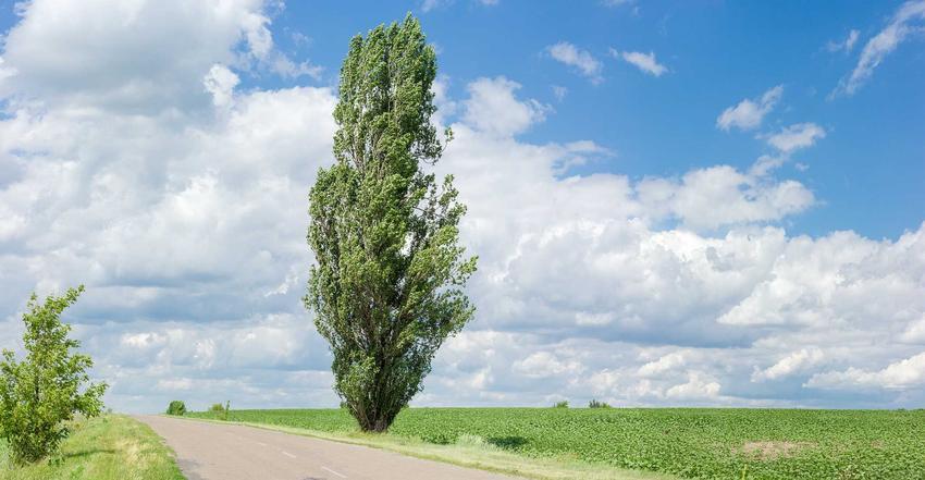 Topola włoska, czyli topola czarna w odmianie Populus nigra Italica w stanie wolnym oraz jej sadzonki, uprawa i pielęgnacja