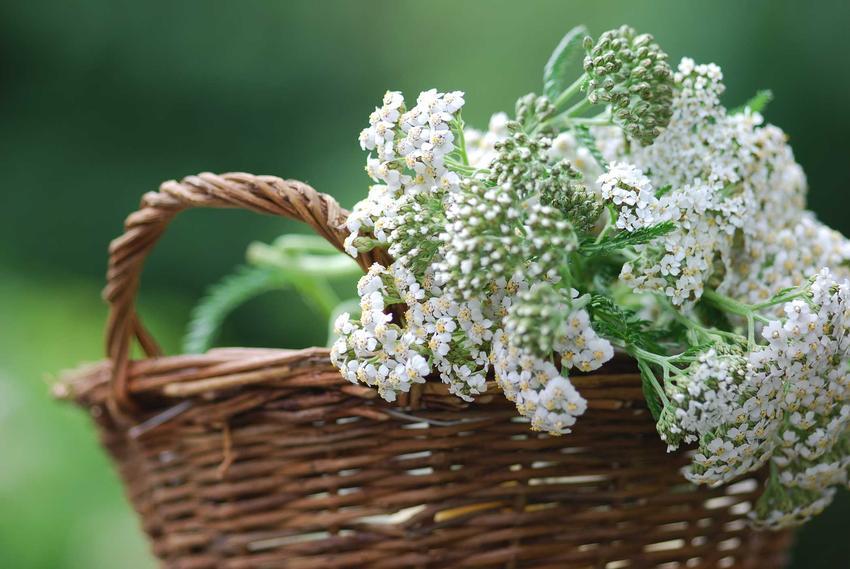 Krwawnik ogrodowy z łaciny Achillea millefolium czy też krwawnik pospolity w wiklinowym koszu oraz jego odmiany i uprawa