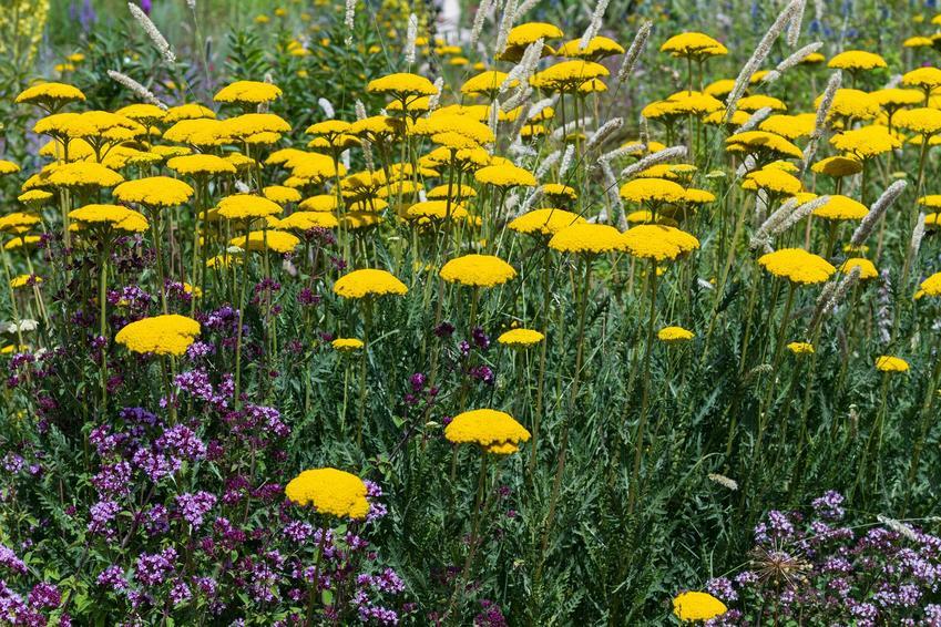 Krwawnik wiązówkowaty lub krwawnik żółty czy talerzowaty z łaciny Achillea filipendulina w ogrodzie w towarzystwie innych kwiatów oraz jego uprawa