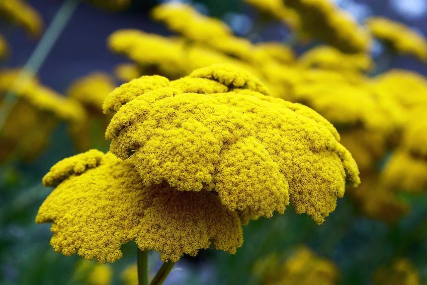 Krwawnik wiązówkowaty czy też krwawnik żółty lub talerzowaty z łaciny Achillea filipendulina w ogrodzie oraz jego uprawa