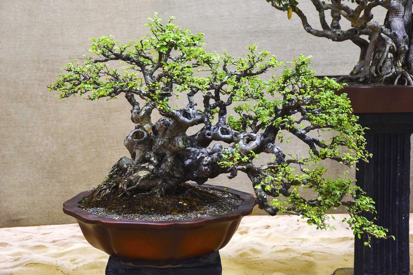 Wiąz bonsai, czyli wiąz drobnolistny jako drzewko bonsai geysha oraz zasady jego uprawy, przycinanie oraz pielęgnacja