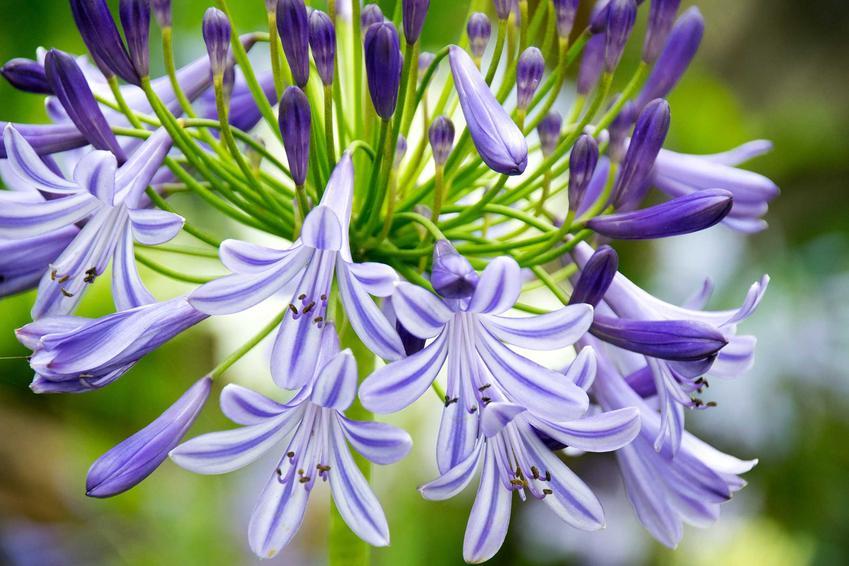 Kwiatostan lilii afrykańskiej czy też aspargant afrykański oraz warunki uprawy, sadzenia, pielęgnacji - porady