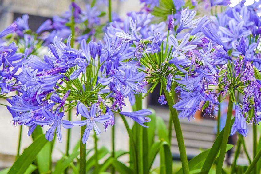 Lilia afrykańska, czyli inaczej lilia niebieska czy też aspargant afrykański w czasie kwitnienia w ogrodzie oraz uprawa krok po kroku
