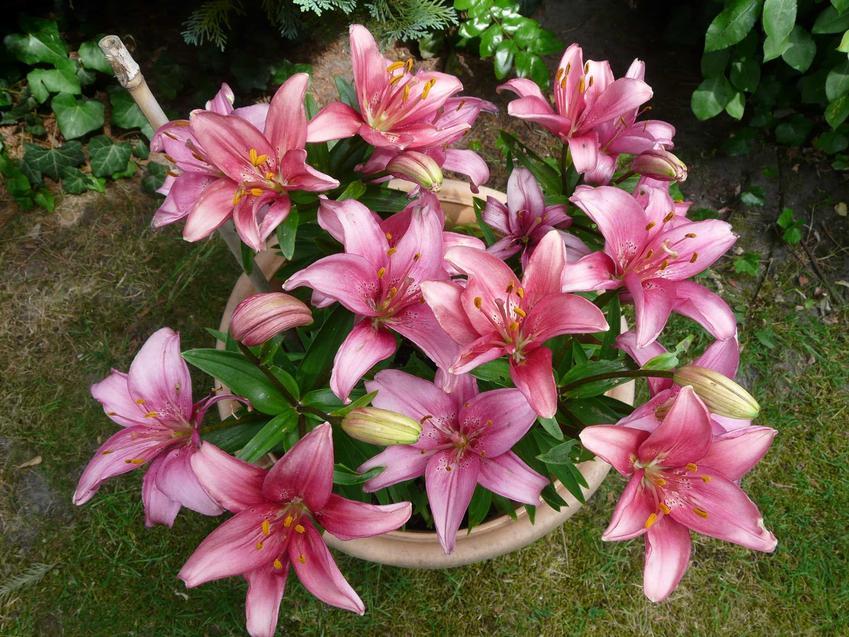 Lilia doniczkowa, czyli różowa lilia w doniczce jako lilia domowa oraz jej uprawa i pielęgnacja w ogrodzie krok po kroku