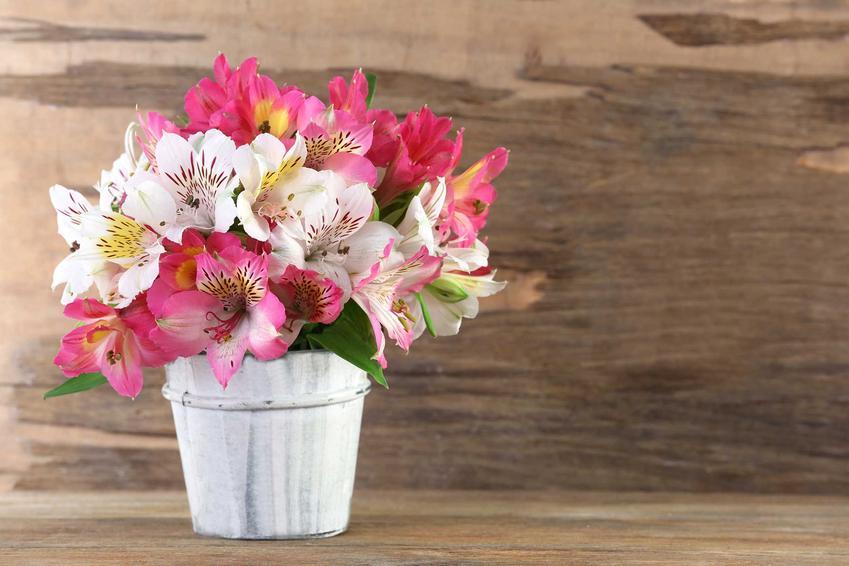 Lilia doniczkowa czy też lilia w doniczce i lilia domowa, a także uprawa i pielęgnacja kwiatów krok po kroku