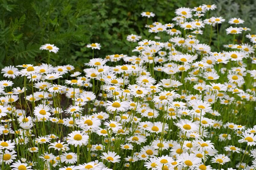 Złocienie, a dokładniej złocień wielki w ogrodzie w czasie kwitnienia oraz odmiany złocienia, a także uprawa i pielęgnaja