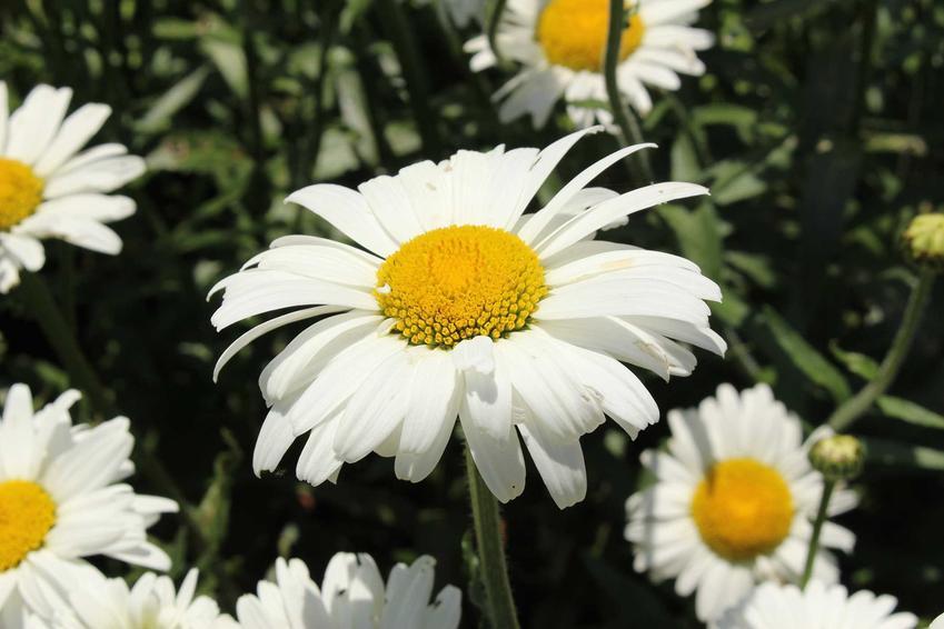Złocień wielki w ogrodzie w czasie kwitnienia oraz odmiany złocienia, a także uprawa i pielęgnaja krok po kroku, wysiew nasion i sadzenie