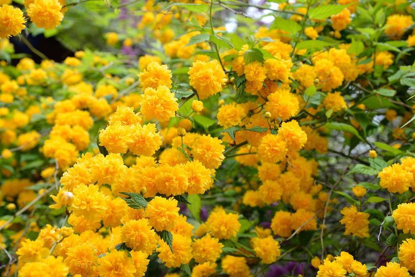 Złotlin japoński pleniflora w czasie kwitnienia oraz uprawa złotlinu i zasady jego pielęgnacji, podlewanie i nawożenie