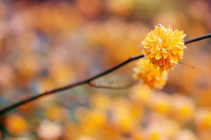 Złotlin japoński pleniflora w czasie kwitnienia z wyeksponowanym kwiatem oraz uprawa złotlinu i  jego pielęgnacja