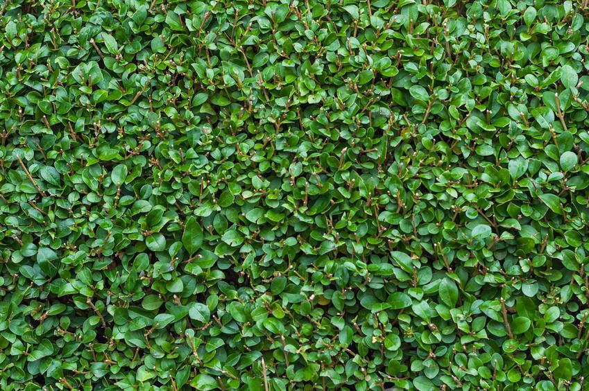 Ligustr jajolistny czy też ligustr aureum jako krzew na żywoplot oraz jego uprawa i pielęgnacja w ogrodzie krok po kroku