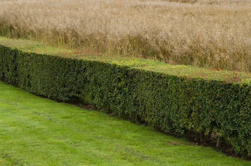 Żywopłot z ligustra, czyli ligustr pospolity lub liguster i jego uprawa oraz sadzenie i pielęgnacja w ogrodzie na żywopłocie