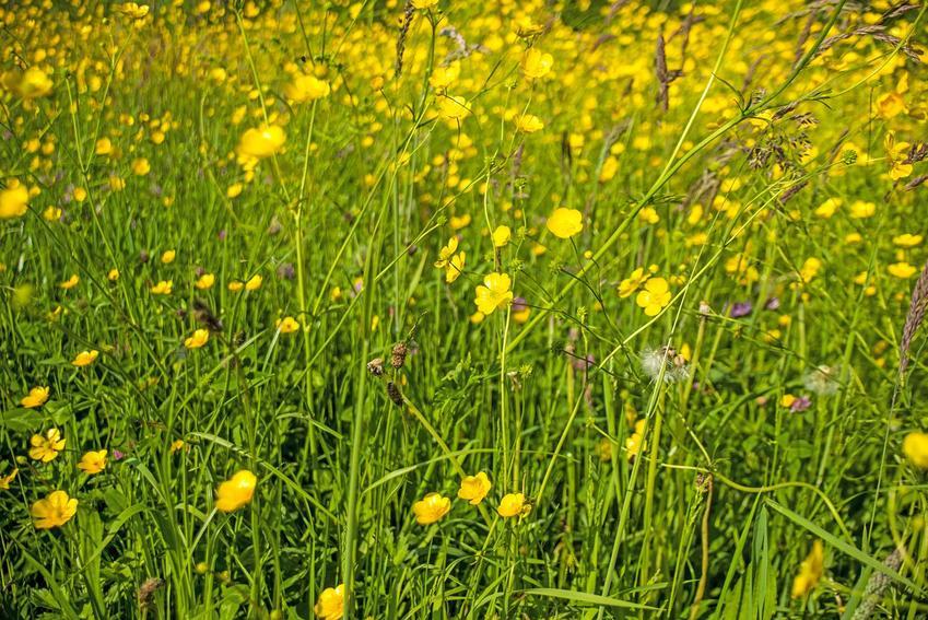Jaskier polny lub jaskier łąkowy, czyli drobne żółte kwiaty polne oraz ich zastosowanie w ogrodzie, sadzenie i pielęgnacja