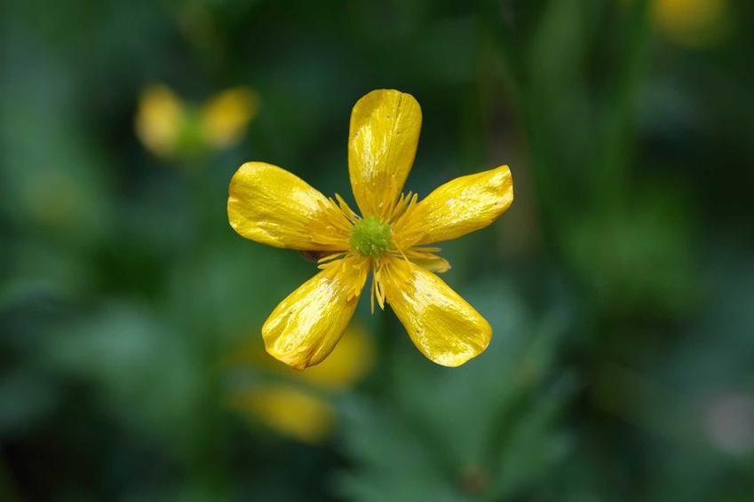 Jaskier polny lub jaskier łąkowy i zbliżenie na kwiat, czyli drobne żółte kwiaty polne oraz ich zastosowanie