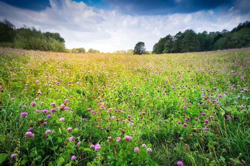 Lucerna mieszańcowa na polu oraz uprawa lucerny mieszańcowej na ziarno, na nasiona i na zielonkę krok po kroku, wysiew i pielęgnacja