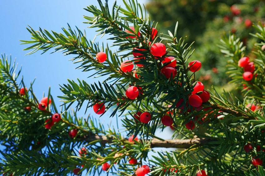 Cis pośredni Hicksii czy też taxus media Hicksii w czasie owocowania oraz warunki uprawa, wymagania, stanowisko, sadzenie i pielęgnacja