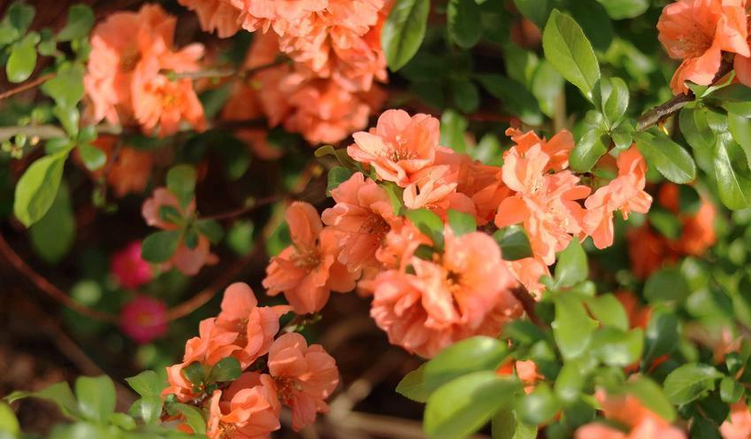 Pigwowiec pośredni w ogrodzie w czasie kwitnienia na pomarańczowo oraz jego uprawa, pielęgnacja, wymagania i cięcie