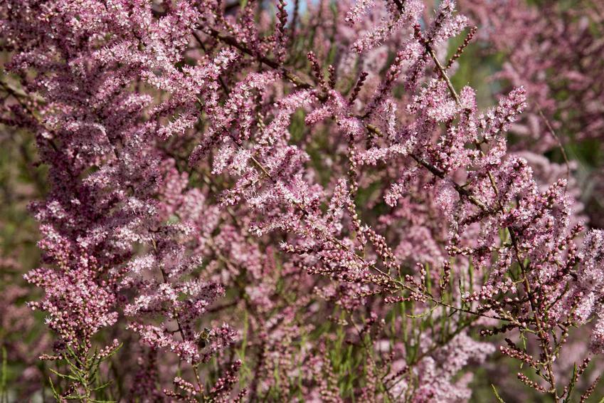 Tamaryszek czteropręcikowy, czyli krzew tamaryszku w ogresie kwitnienia w grodzie oraz jego uprawa, pielęgnacja i przesadzanie
