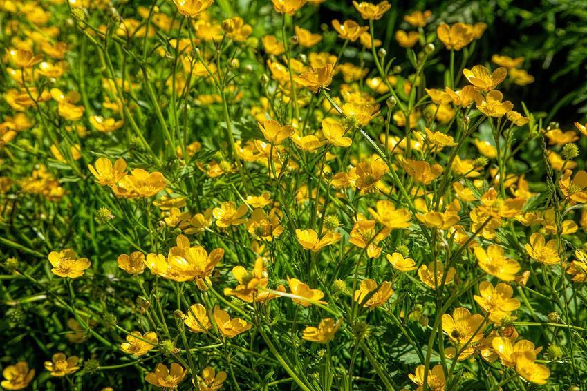 Jaskier rozłogowy w czasie kwitnienia na żółto oraz jego zastsowanie lecznicze i właściwości, a także uprawa i pielęgnacja