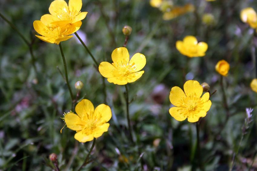 Jaskier rozłogory w czasie kwitnienia na żółto oraz jego zastsowanie, właściwości lecznicze oraz pielęgnacja w ogrodzie