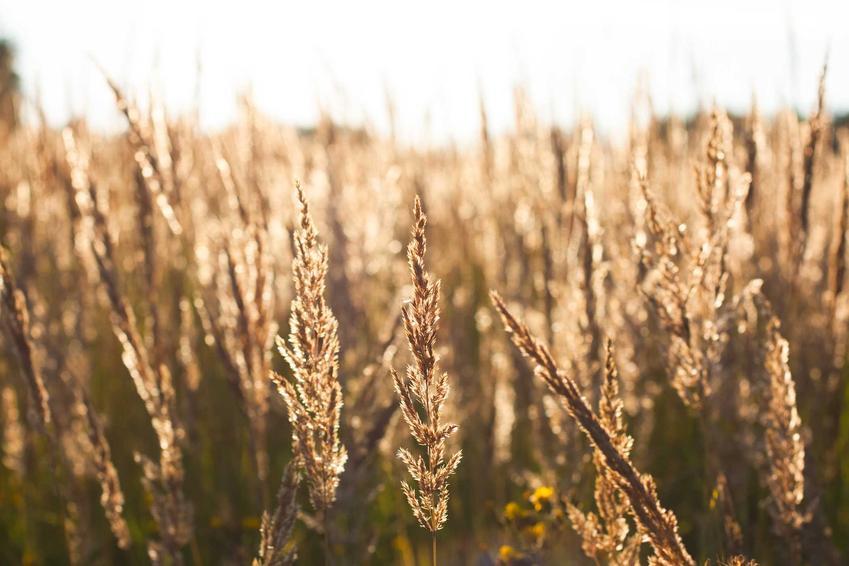 Kostrzewa owcza czy też kostrzewa szczeciniasta jako trawa ozdobna lub roślina na trawnik w ogrodzie - wymagania, stanowisko, pielęgnacja