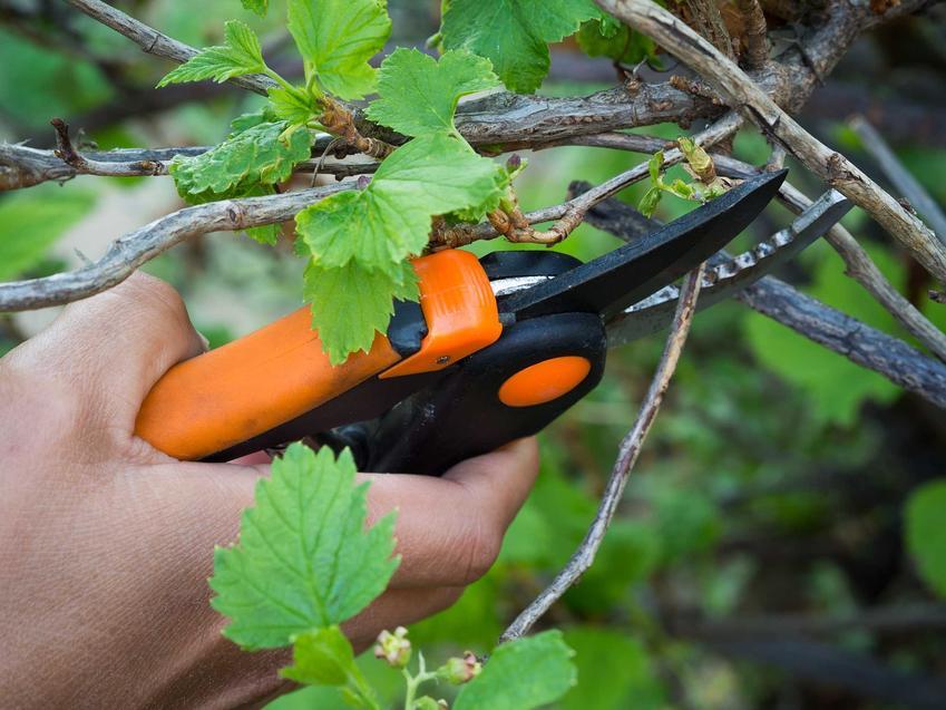 Przycinanie porzeczek, czyli przycinanie krzewów czarnej porzeczki i innych rodzajów oraz cięcie, sposoby i porady
