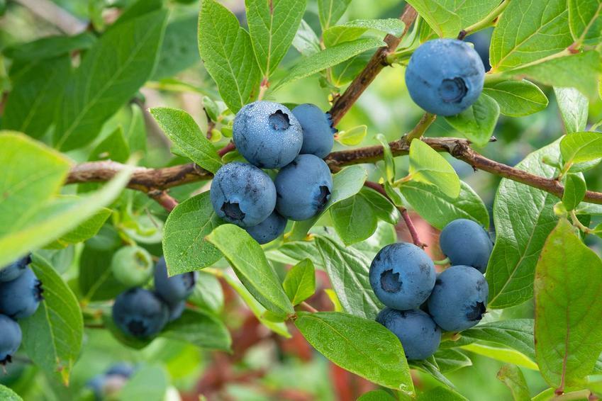 Borówka amerykańska i krzewy owocowe i rośliny owocowe w ogrodzie oraz rodzaje i odmiany, sadzenie i pielegnacja krzewów owocowych