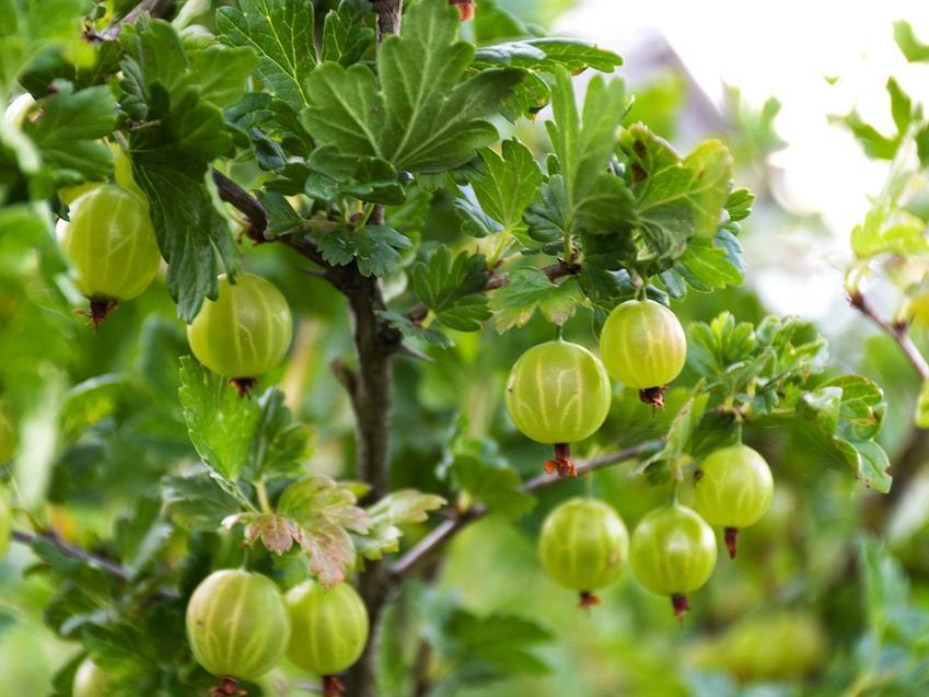 Agrest, czyli krzewy owocowe i rośliny owocowe w ogrodzie oraz inne polecane rodzaje i odmiany, sadzenie oraz pielęgnacja