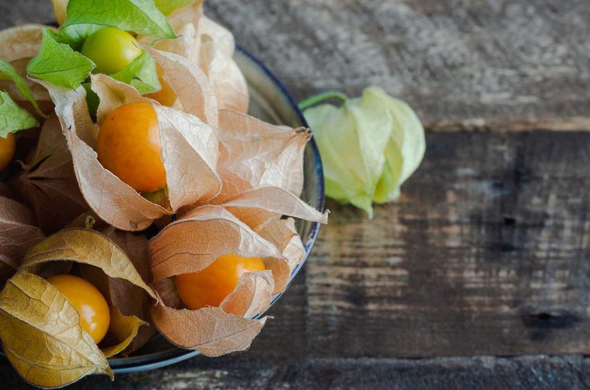 Miechunka peruwiańska lub miechunka jadalna czy też miechunka pomidorowa po zbiorach oraz jej uprawa i właściwości