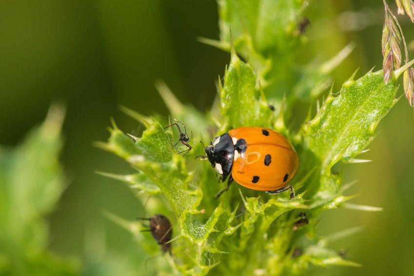 Mszyce na liściach i biedronka oraz domowe sposoby na mszyce oraz chemiczne środki na mszyce i zwalczanie mszyc