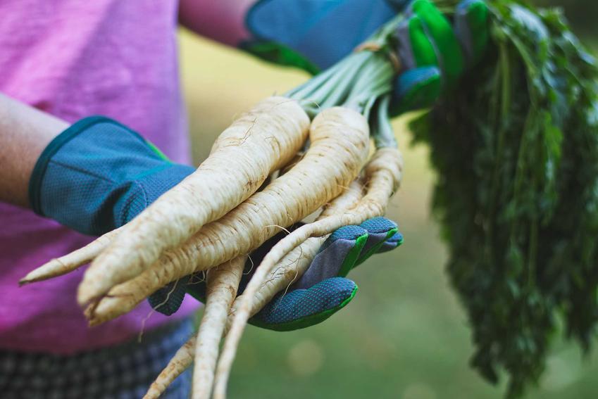 Pietruszka korzeniowa i pietruszka naciowa oraz uprawa pietruszki korzeniowej, czyli wysiew pietruszki lub sadzenie,a także pielęgnacja
