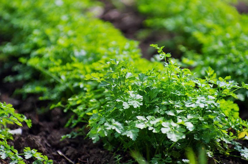 Pietruszka naciowa oraz uprawa pietruszki korzeniowej, czyli wysiew pietruszki lub sadzenie, a także pielęgnacja