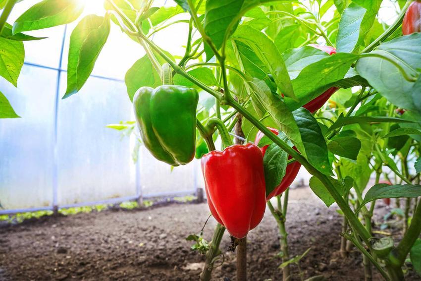 Papryka czerwona i zielona oraz uprawa papryki w gruncie oraz porady, jak hodować paprykę w ogrodzie oraz najlepsze stanowisko