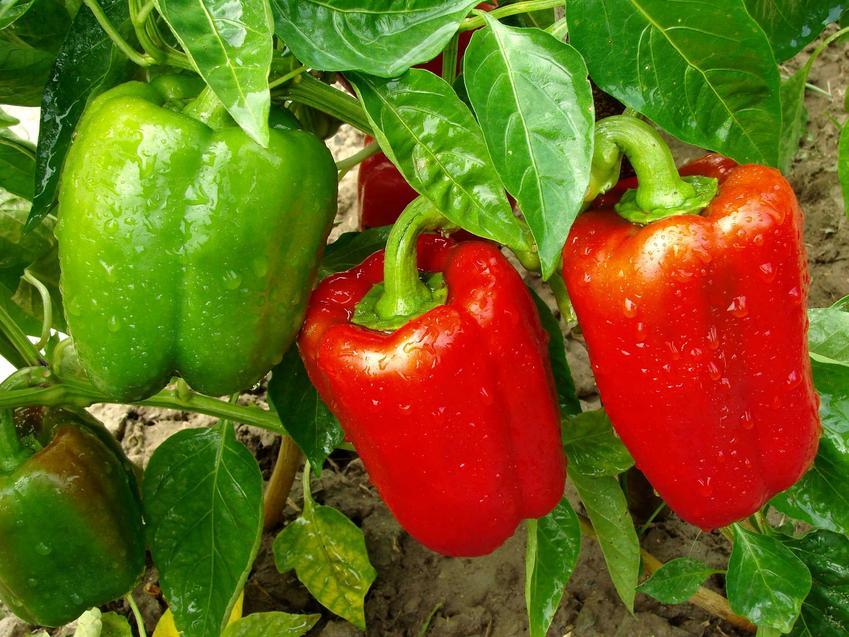Papryka czerwona oraz uprawa papryki w gruncie oraz odmiany papryki do ogrodu i pielęgnacja w gruncie