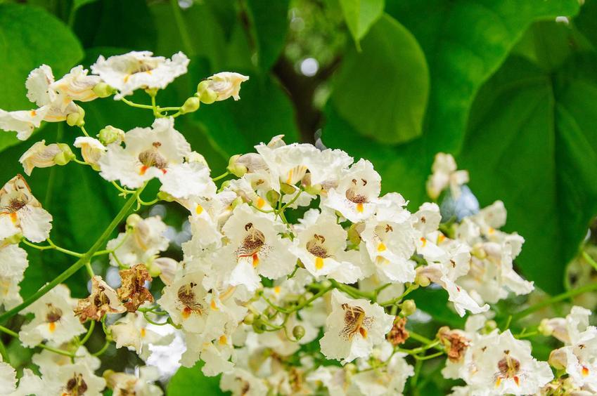Surmia zwyczajna w czasie kwitnienia lub inaczej katalpa zwyczajna w ogrodzie oraz jej uprawa i pielęgnacja