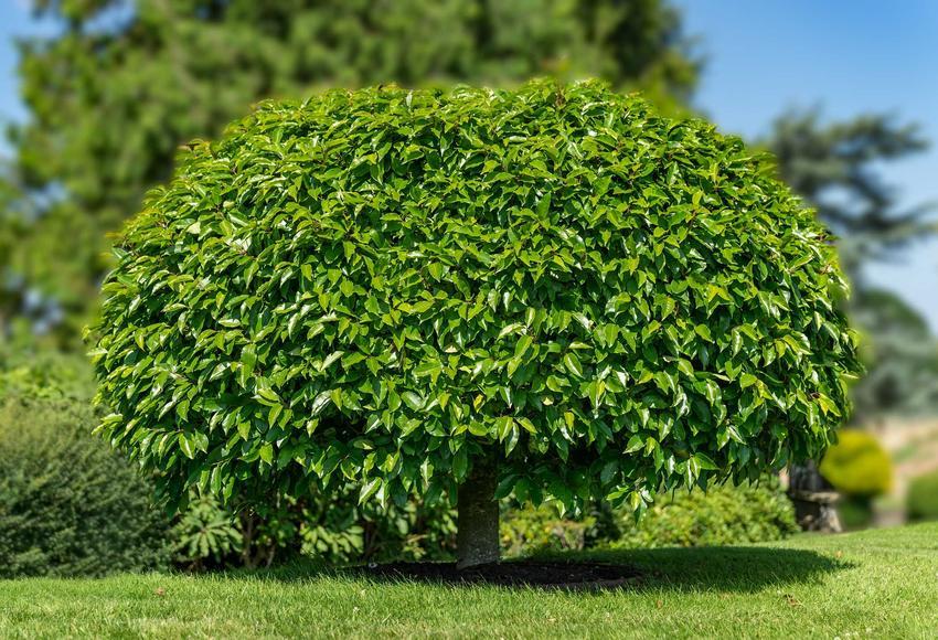 Surmia w ogrodzie z zielonymi liścmi lub inaczej katalpa oraz jej uprawa i pielęgnacja krok po kroku