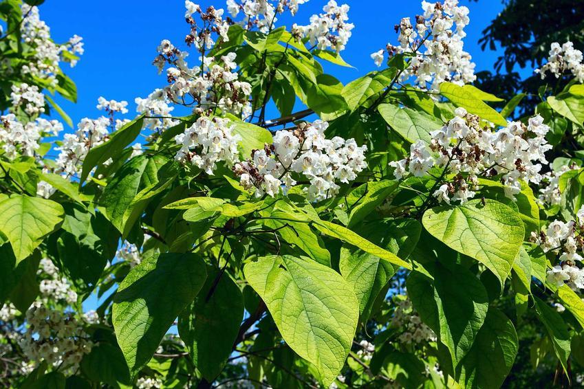Surmia zwyczajna w ogrodzie w czasie kwitnienia lub inaczej katalpa zwyczajna oraz jej uprawa i pielęgnacja
