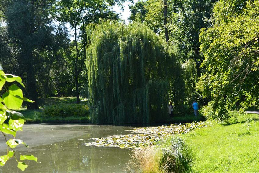 Duża wierzba płacząca w dużym ogrodzie oraz rodzaje wierzb i gatunek wierzby, jaki warto uprawiać oraz pielęgnacja w ogrodzie