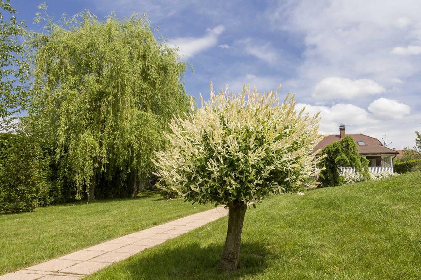 Mała wierzba w ogrodzie oraz rodzaje wierzb i gatunek wierzby, jaki warto uprawiać, a także jej uprawa i pielęgnacja
