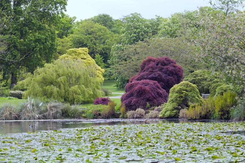 Wierzba w ogrodzie oraz rodzaje wierzb i gatunek wierzby, jaki warto uprawiać, a także jej uprawa i pielęgnacja