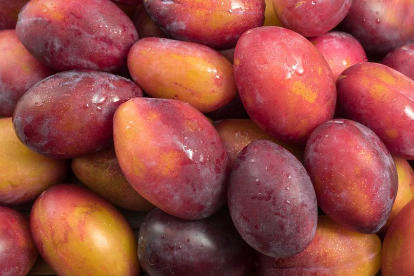 Śliwki i śliwa Prezydent, czyli śliwa o dużych owocach oraz odmiana president i jej uprawa, a także pielęgnacja