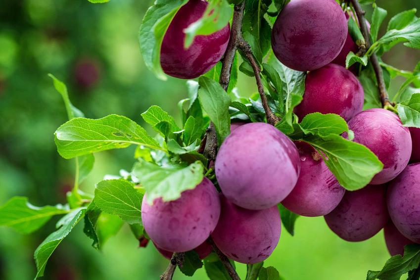 Śliwa Prezydent, czyli śliwa o dużych owocach oraz odmiana president i jej uprawa, a także pielęgnacja