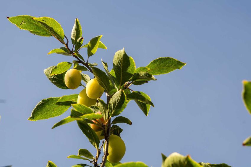 Śliwa renkloda ulena, czyliś śliwa żółta podczas owocowania na drzewie, a także jej uprawa i pielęgnacja