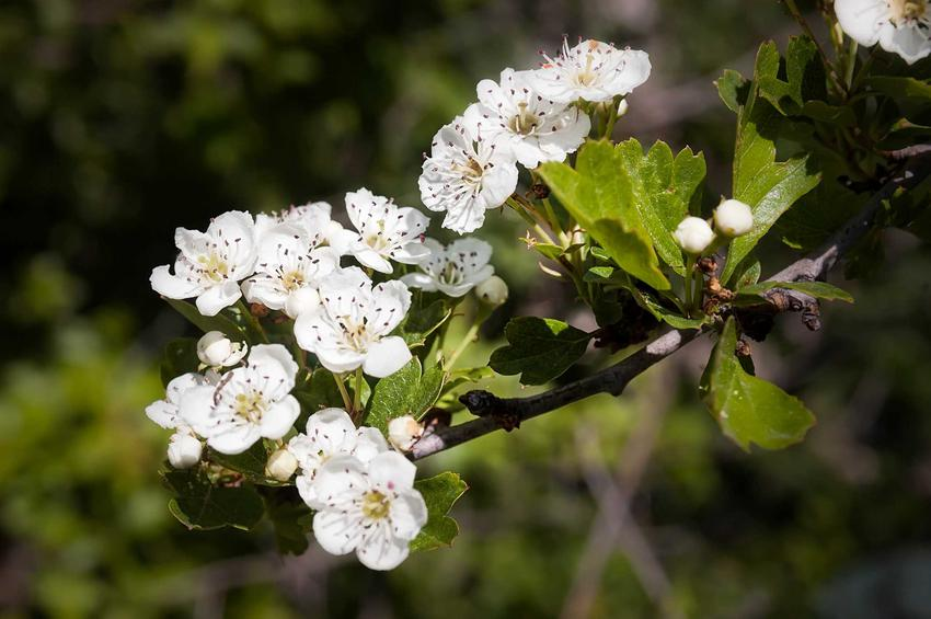Kwitnący głóg jednoszyjkowy  w ogrodzie, a także warunki uprawy, wymagania i pielęgnacja krzewu oraz właściwości i zastosowanie - porady