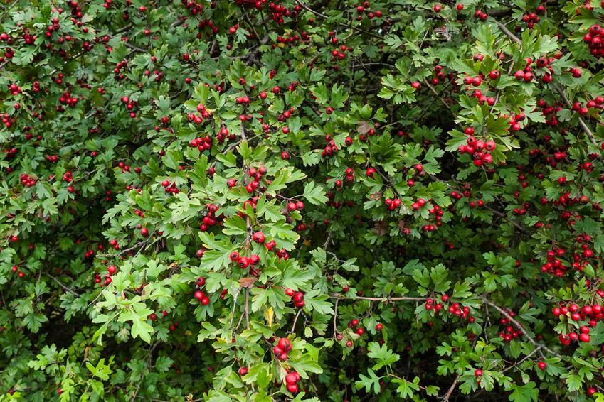 Owocujący głóg jednoszyjkowy  w ogrodzie, a także warunki uprawy i pielęgnacja krzewu oraz właściwości i zastosowanie - porady