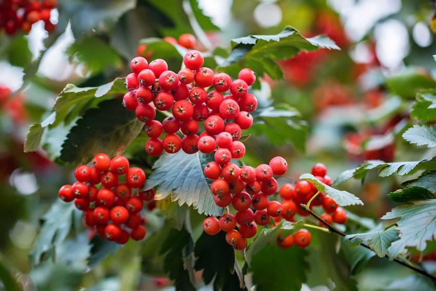 Głóg szkarłatny w czasie owocowania krzewu oraz inne odmiany, warunki uprawy, wymagania, pielęgnacja, właściwości oraz wykorzystanie