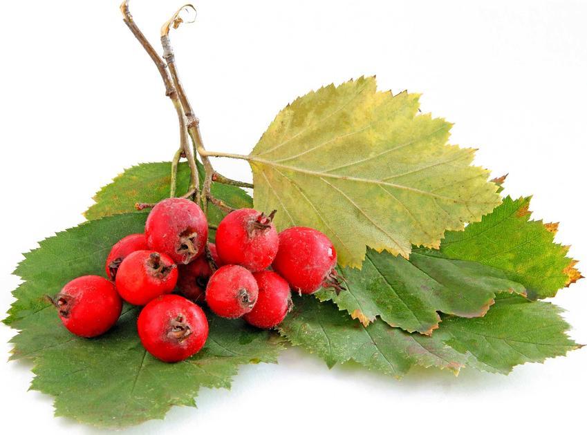 Głóg szkarłatny w postaci owoców i liści na białym tle - odmiany,  stanowisko, wymagania, pielęgnacja, właściwości oraz  przepisy na przetwory