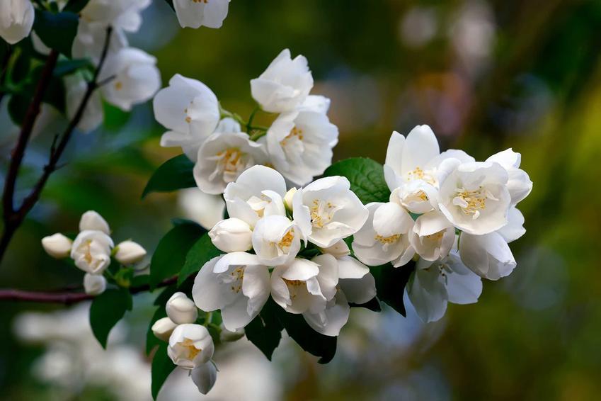 Jaśminowiec w czasie kwitnienia w ogrodzie, a także uprawa jaśminowca, cięcie jaśminowca oraz pielęgnacja i rozmnażanie