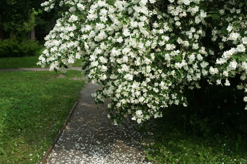 Jaśminowiec w ogrodzie, a także uprawa jaśminowca, cięcie jaśminowca oraz pielęgnacja i rozmnażanie